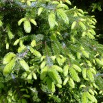 Evidence of spring - new growth on a local conifer