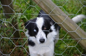 Norsk farm dog.  Two eye colours. It was a special secret valley.