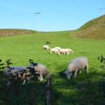 Norsk sheep not in Norsk farm shed.