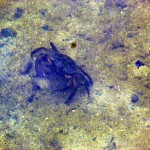 Crab in the water